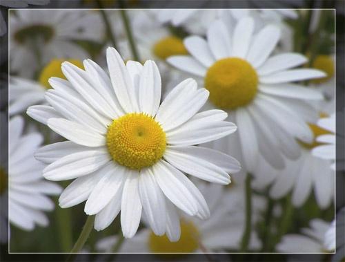 Daisy, Daisy by GlynB