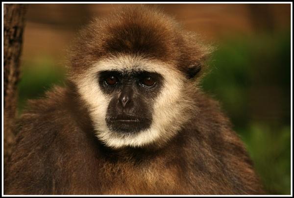 Forlorn Gibbon by jimbo_t