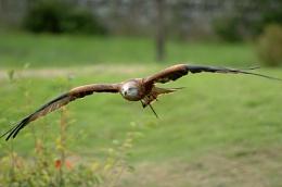 Red Kite 2