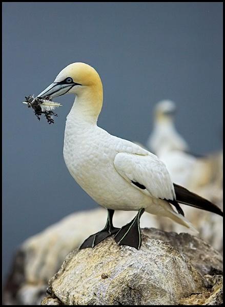 Gannet by zippie