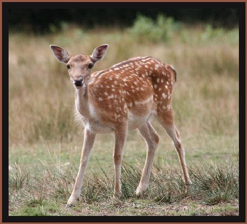 Young Deer by joeb