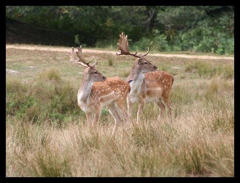 Two deer.... by joeb