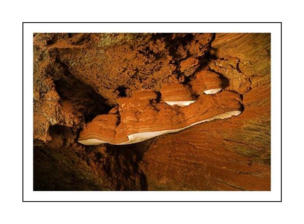 Bracket Fungus by Philip_P