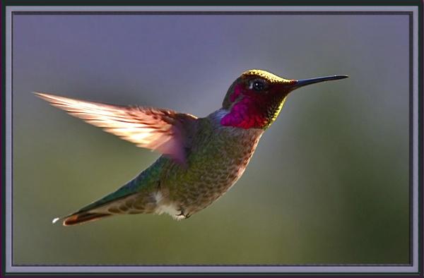 Anna\'s Hummingbird/ Calypte anna by maures53
