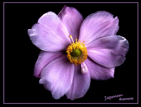 Anemone by BillS