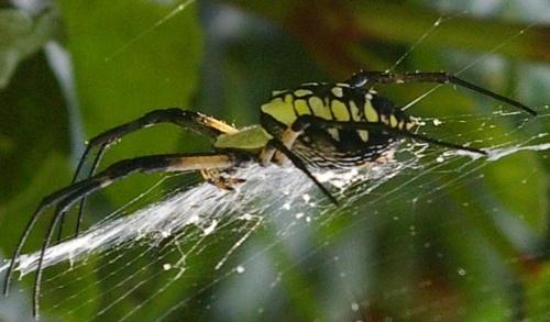 GARDEN SPIDER by raul_naja
