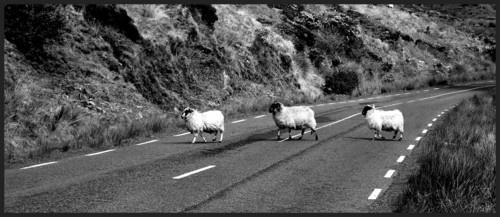 Sheepwalk by silep