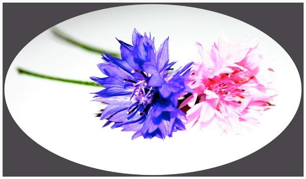 Purple & Pink by mickf1