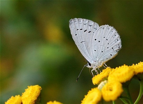The Holly Blue by Jens_Peter