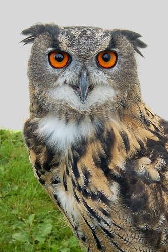 Eagle owl by retec