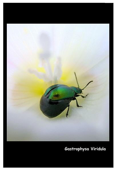 Leaf Beetle by jimbo75
