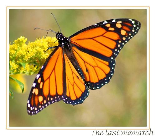 the last monarch by mirceax