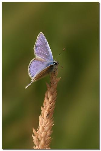 Blue by naturenut