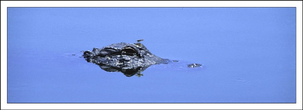 Alligator and dragonfly by rontear