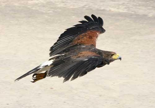 hawk by rf