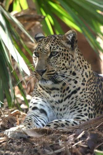 jaguar by rf