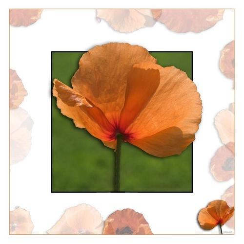 Poppies by jamsa