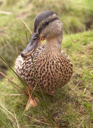 Duck! by michaeldt
