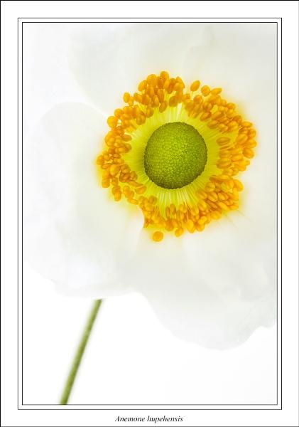Anemone hupehensis by johnjohn01