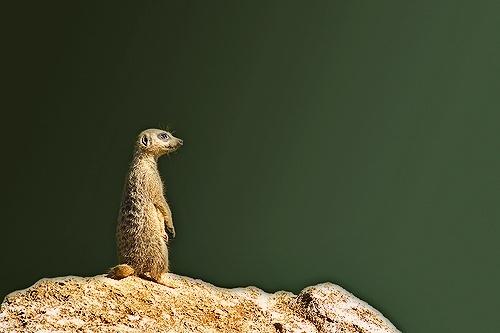 Meercat by mttmwilson