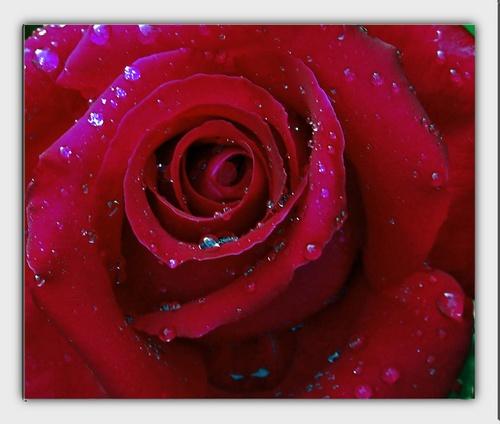 rose by mark2uk