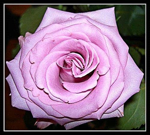 Rose by cramj