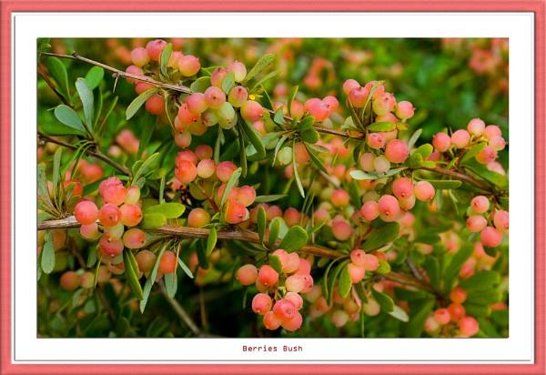 Berries Bush by wwwCOLEUKcom