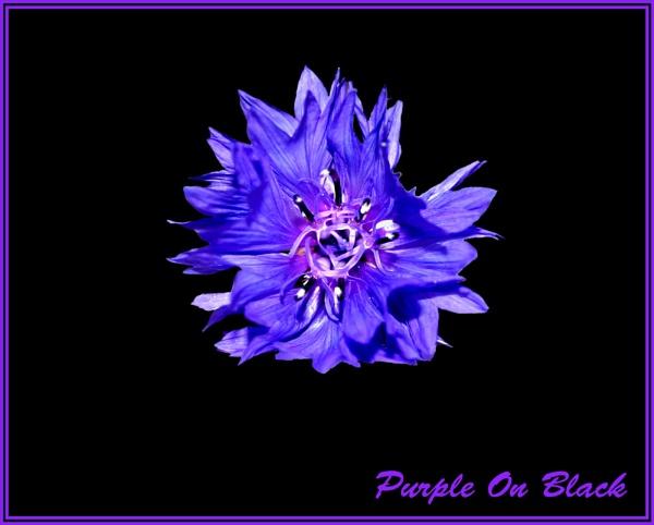 Purple On Black by mickf1