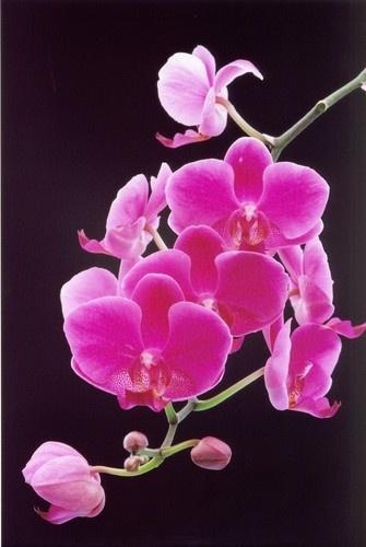 Pink Phalaenopsis by Noddyboy