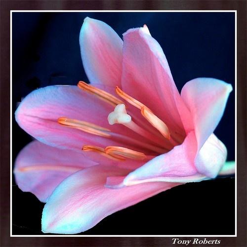 Lily by troberts