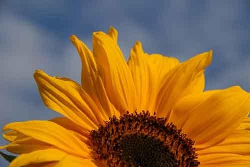 Sunflower by jage
