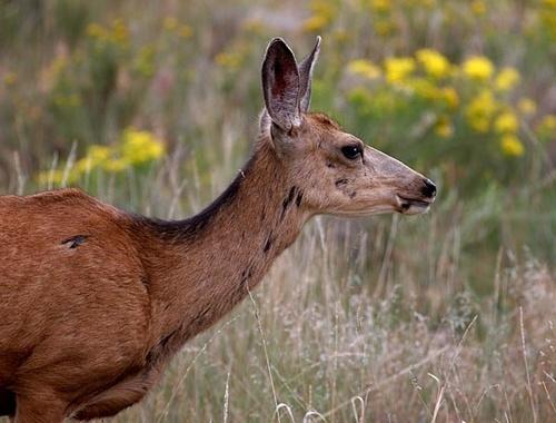 Mule Deer by pink
