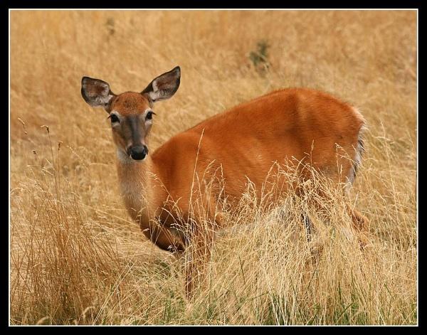 Deer2 by p-g