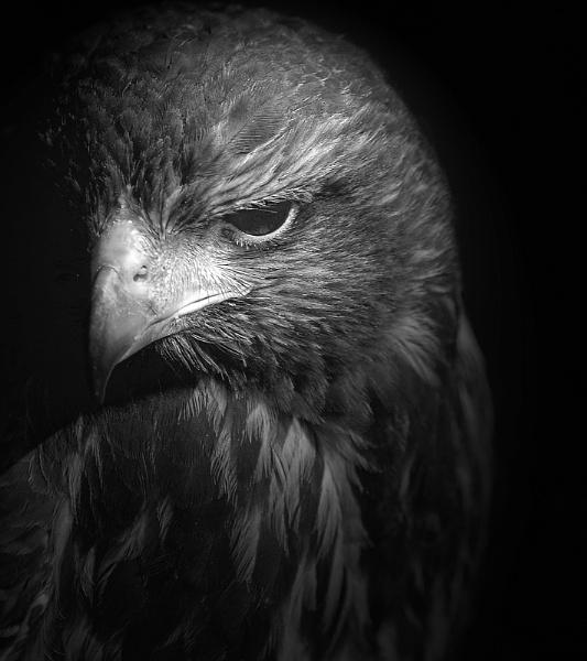 Harris Hawk by abtuie