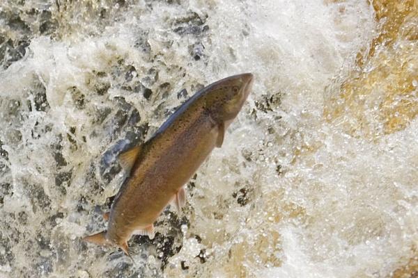 Salmon Leap by Paul_Barr