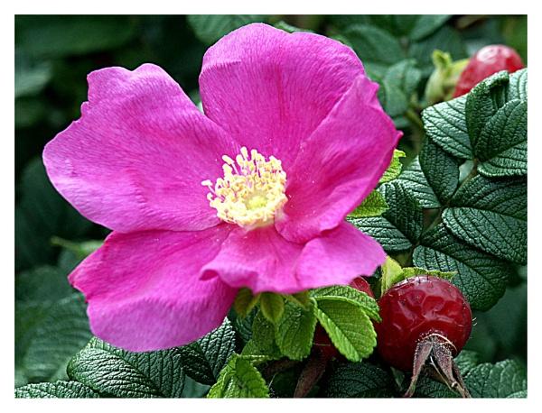 Rose   Berries by Dennie