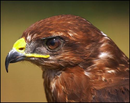 buzzard Head by flyking3