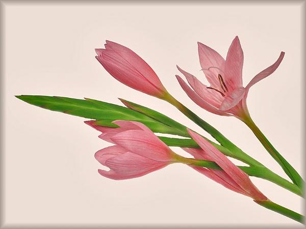 Kaffir Lily 3 by Billies