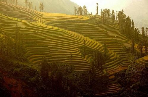 autumn rice field by khanhnguyen