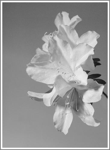 Azaleas in B&W by FranciscoB