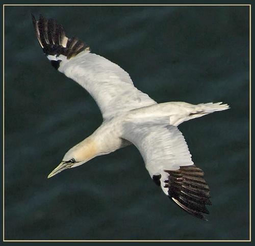 Gannet over the northsea by Hawkgenes