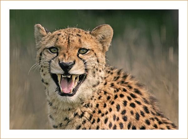 Cheetah by Carol_f