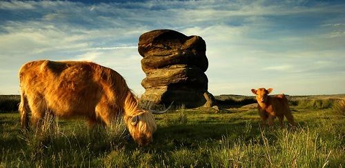 cowscape by richardwheel