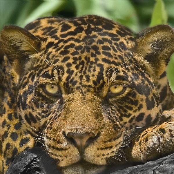 Young Jaguar by philipr