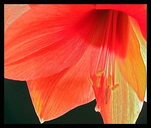 lily by cramj
