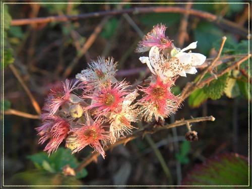 bramble flowers by vonny