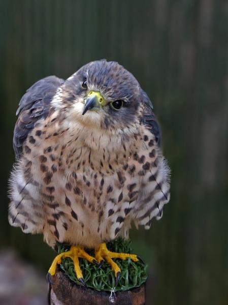 falcon by Pogs