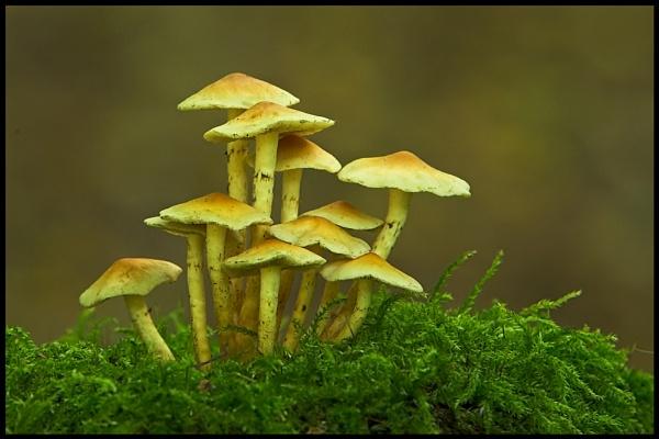 Honey Fungus by zippie