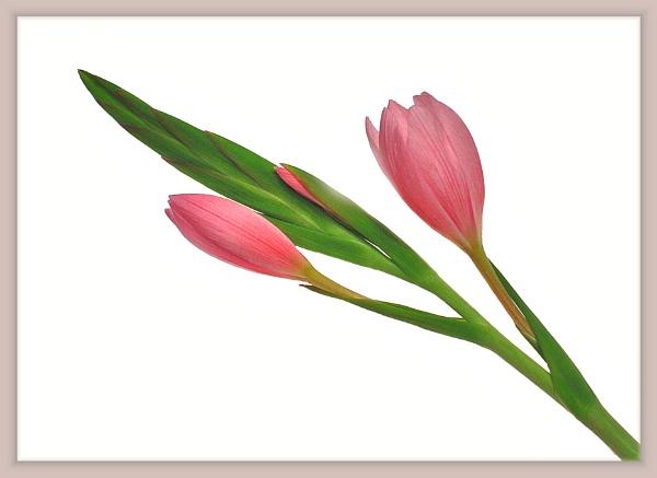 Kaffir Lily 4 by Billies