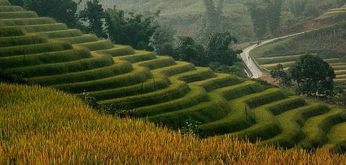 Rice Paddie by khanhnguyen